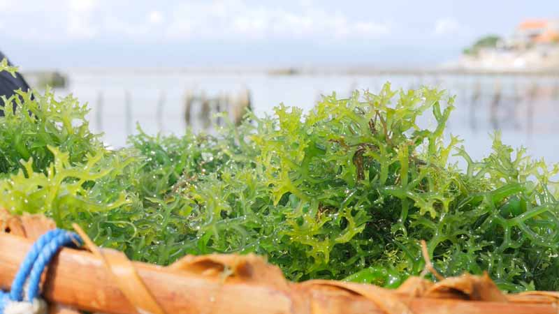 What are the Benefits of Dried Seaweed - www.detoxandcure.com