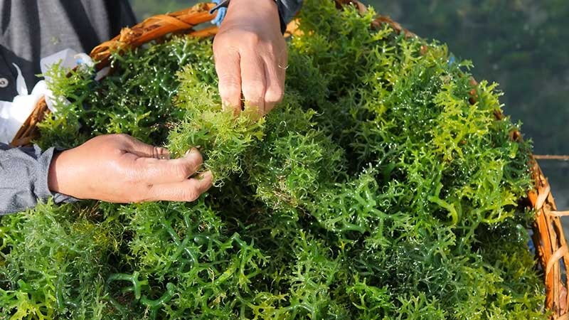 What to Know Before you Buy Sea Moss