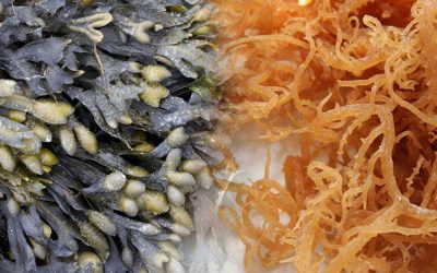 Introducing Dual Sea Moss and Bladderwrack Benefits